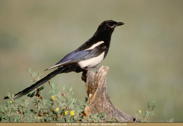 Photo of Black-billed Magpie