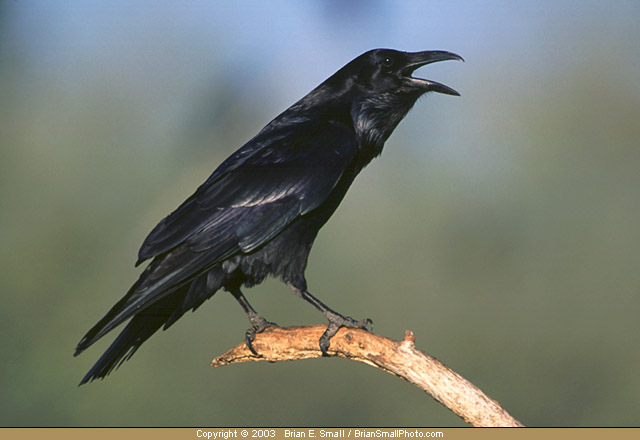 Photo of Common Raven