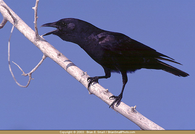 Fish crow the full wiki for Fish crow call