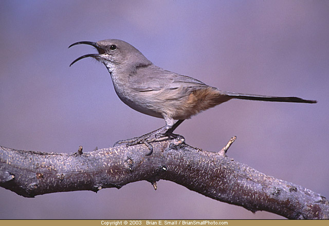 Photo of LeConte's Thrasher