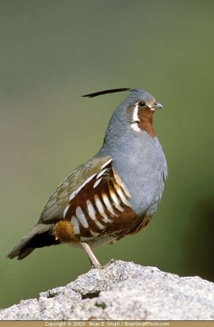 Photo of Mountain Quail