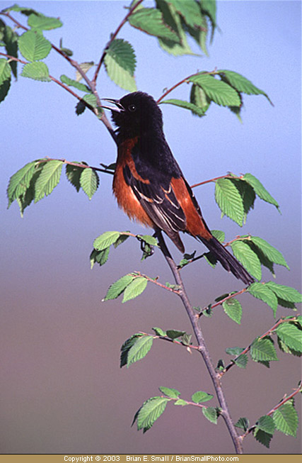 Photo of Orchard Oriole
