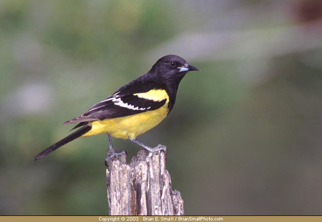 Photo of Scott's Oriole