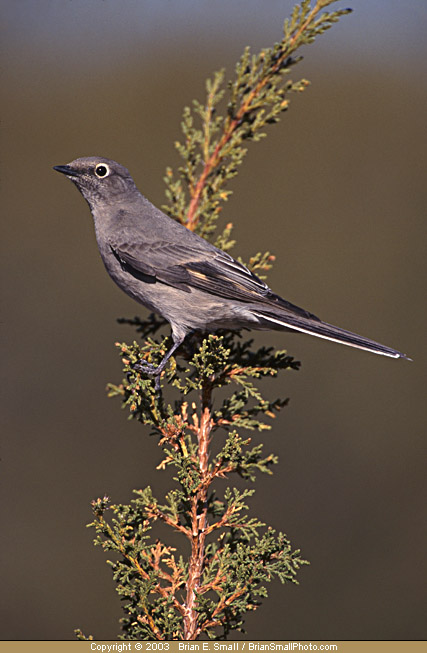 Photo of Townsend's Solitaire