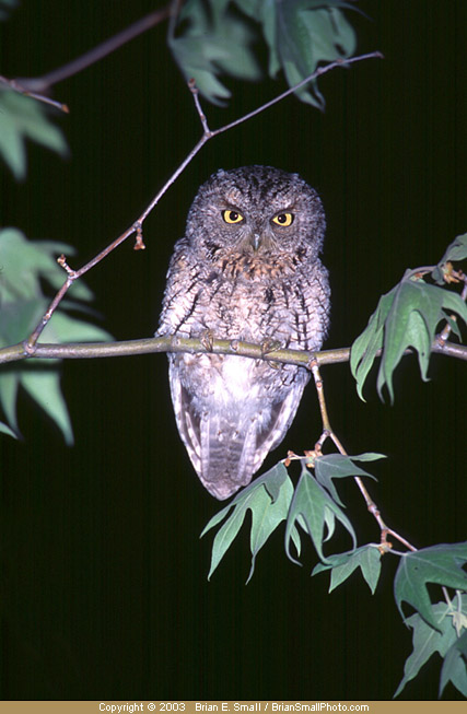 Photo of Whiskered Screech-Owl